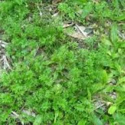 Surefire Buffalo Herbicide Bromoxynil 1 litre Broadleaf Weeds esp Bindi