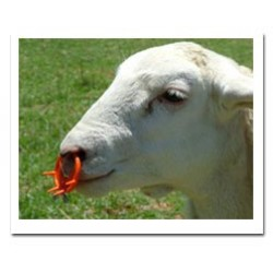Easy Wean Calf Goat Sheep Weaner
