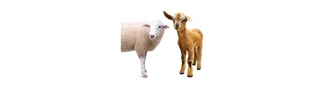 Sheep, Goats and Alpacas