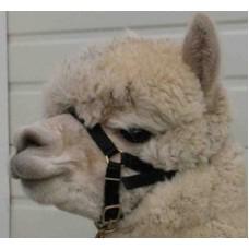 Alpaca Webbing Halter - High Quality Suit Crias