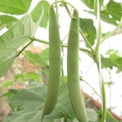 Bean Climbing Delgado Black Mexican Seed Packet Organically Certified
