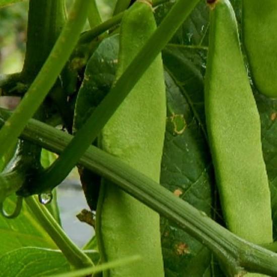 Bean Climbing Northeaster Seed