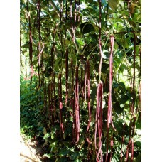 Bean Climbing Snake Red Noodle Seed Packet Organically Certified