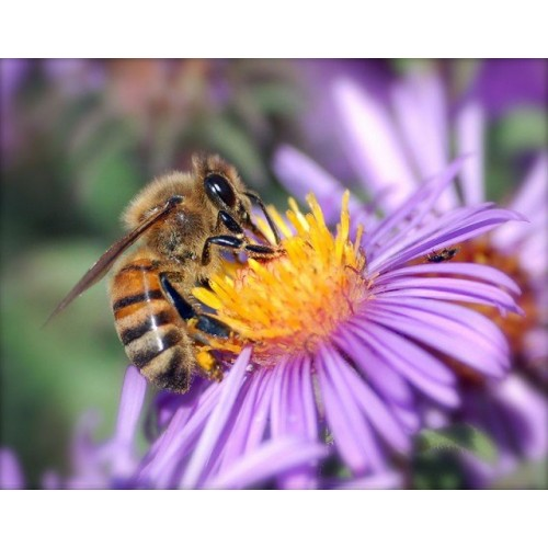 Bee Attractant Seed Mix Autumn/Winter Mix Organically Certified