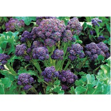 Broccoli Purple Sprouting Seed Packet Organically Certified