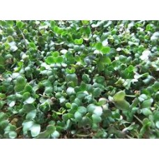 Broccoli Seed Sprouting Bulk Quantities Organically Certified