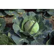Cabbage Golden Acre Organically Certified Seed