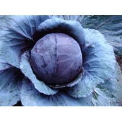 Cabbage Red Organically Certified Seed