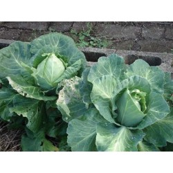 Cabbage Sugarloaf  Organically Certified
