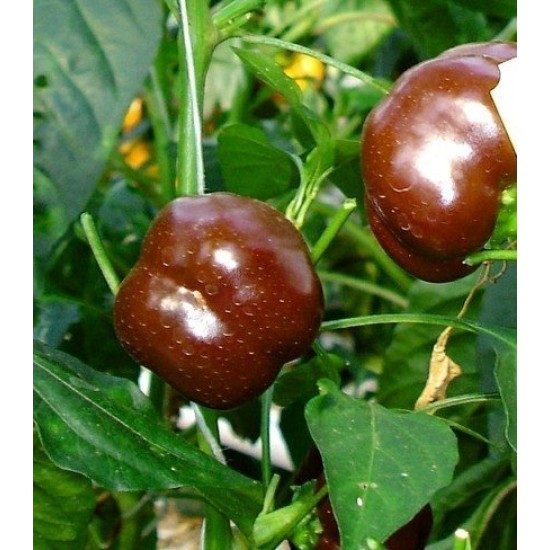 Capsicum Sweet Chocolate Seed Packet Organically Certified
