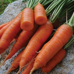 Carrot Chantenay Red Cored Seed Packet Organically Certified