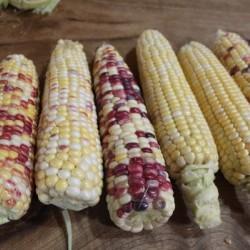 Corn Sweet Anasazi Seed Packet Organically Certified