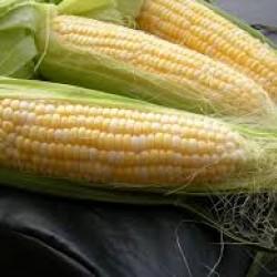 Corn Sweet Golden Bantam Seed Packet Organically Certified