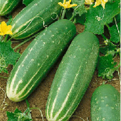 Cucumber Marketmore Seed Packet Organically Certified