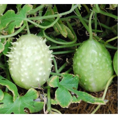 Cucumber West Indian Gherkin Seed Packet Organically Certified