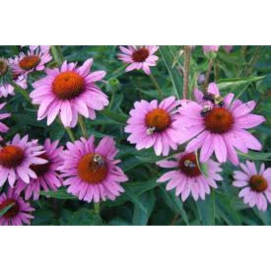 Echinacea Purpurea Seed Packet Organically Certified