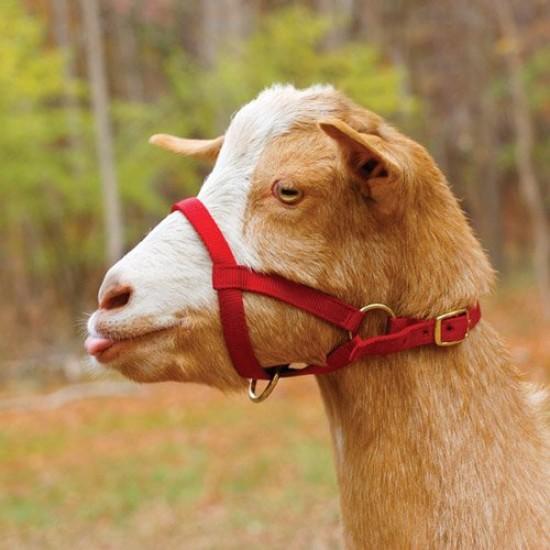 Goat Webbing Halter - Medium Size