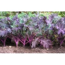 Kale Red Russian Sprouting Plant Seed Packet Organically Certified