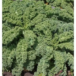 Kale Scotch Blue Curled Seed Packet Organically Certified