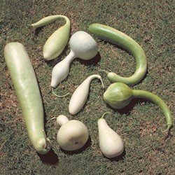 Large Gourd Mixed Seed Packet Organically Certified