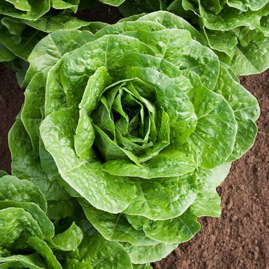 Lettuce Cos Parris Island Seed Packet Organically Certified