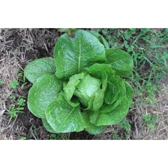 Lettuce Cos Verdi Seed Packet Organically Certified