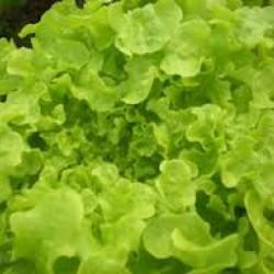 Lettuce Green Oak Leaf Seed Packet Organically Certified