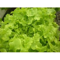 Lettuce Green Oak Leaf Seed Packet Organically Certified