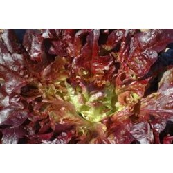 Lettuce Red Oak Leaf Seed Packet Organically Certified