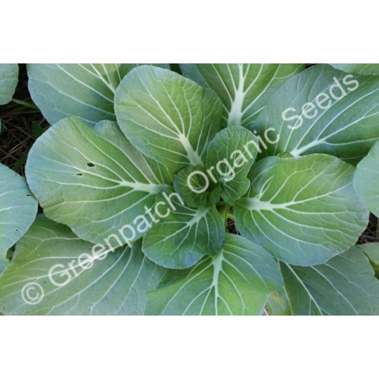 Pak Choi Organically Certified Seed