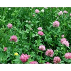 Palestine Strawberry Clover Coated Seed