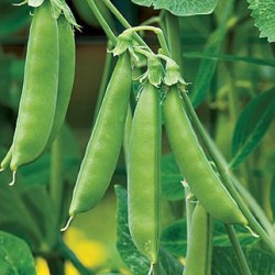 Pea Climbing Sugar Snap Organically Certified Seed Sprouting  - NOT TAS or WA