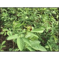 Pigeon Pea Seed Sprouting Packet Organically Certified