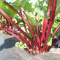 Rhubarb Sydney Crimson Seed Packet Organically Certified