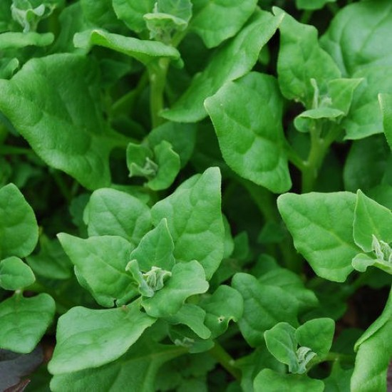 Spinach New Zealand Organically Certified Seed PAST BEST BEFORE SOW DATE