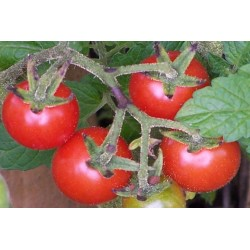 Tomato Burwood Prize Seed Packet Organically Certified