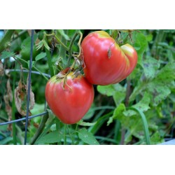 Tomato Oxheart Pink Seed Packet Organically Certified