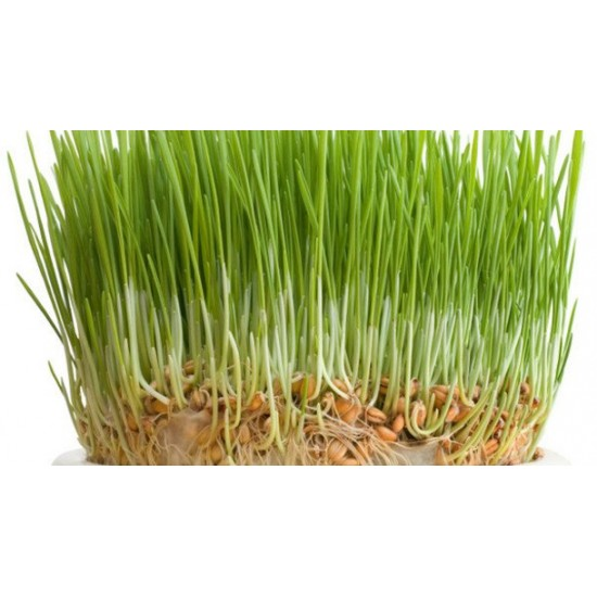 Wheat Seed Sprouting Packet Organically Certified