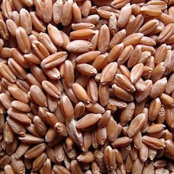 Wheat Seed Sprouting Seed Bulk Quantities Organically Certified