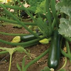 Zucchini Courgette Black Beauty Seed Packet Organic