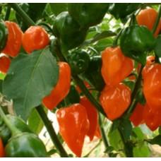 Chilli -Orange Habanero Organically Certified