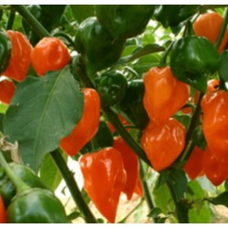 Chilli -Orange Habanero Organically Certified