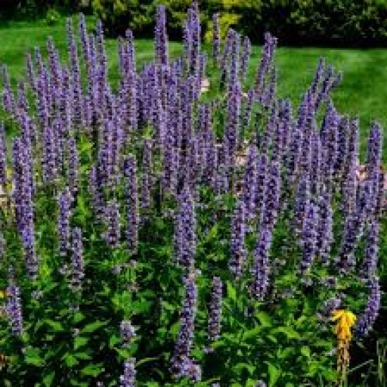 Anise Hyssop Seed Packet Organically Certified