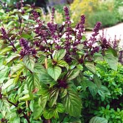 Basil Licorice Seed