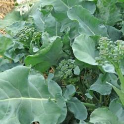 Broccoli Raab Rapini Seed Organically Certified