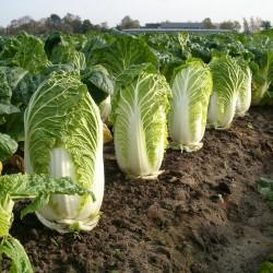 Cabbage Wong Bok Seed