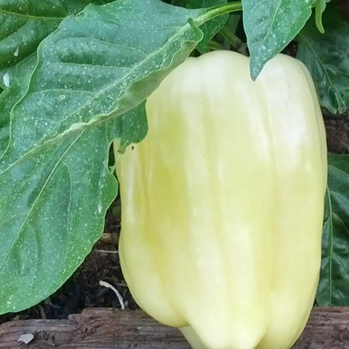 Capsicum Diamond Seed Packet Organically Certified