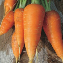 Carrot Danvers Seed Organically Certified
