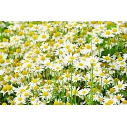 Chamomile German Seed Packet Organically Certified