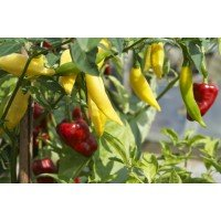 Chilli Aji Limon Seed Pack Organically Certified PAST BEST BY SOW DATE